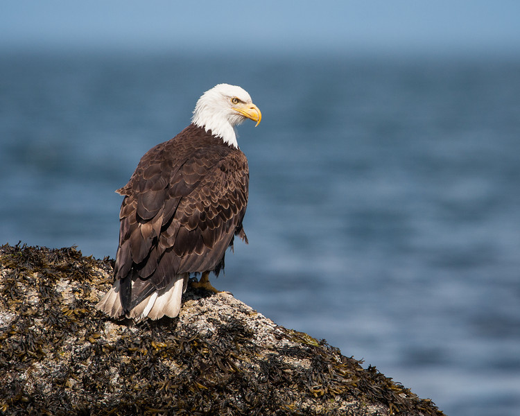 An adult bald eagle (Haliaeetus leucocephalus). Taken in Parksville, Vancouver Island, British Columbia, Canada.