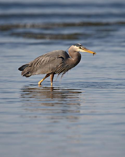 Taken at Esquimalt Lagoon, Victoria, Vancouver Island, British Columbia, Canada.