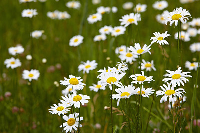Oxeye daisy (Leucanthemum vulgare), wildflowers growing along Yankee Fork Road in the Salmon-Challis National Forest, Idaho, USA. The species is invasive and non-native, having been introduced into the USA from Europe.