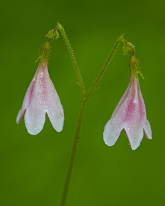 Twinflower (Linnaea borealis), a wildflower. Taken near Solomon Lake, Kaniksu National Forest, Idaho, USA.