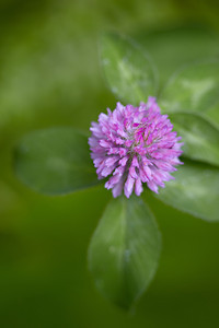 Red clover (Trifolium pratense), a wildflower. Taken near Solomon Lake, Kaniksu National Forest, Idaho, USA.
