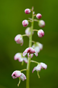 Pink wintergreen (Pyrola asarifolia), a wildflower. Taken near Solomon Lake, Kaniksu National Forest, Idaho, USA.