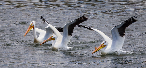 Three American white pelican (Pelecanus erythrorhynchos) landed on the lake. Taken on the Bruneau Arm, C.J. Strike Wildlife Management Area, Idaho, USA.