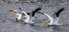 Three American white pelican (Pelecanus erythrorhynchos) landed on the lake. Taken on the Bruneau Arm, C.J. Strike Wildlife Management Area, Idaho, USA.