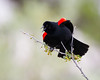 A male red-winged blackbird (Agelaius phoenicius) displays the beautiful bars on his wings. Taken in the C.J. Strike Wildlife Management Area, Idaho, USA.