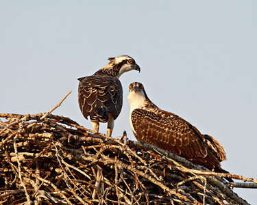 Fledgling osprey (Pandion haliaetus) on the nest along the Salmon River, Salmon, Idaho, USA.