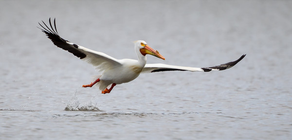 An American white pelican (Pelecanus erythrorhynchos), takes off from the lake. Taken on the Bruneau Arm, C.J. Strike Wildlife Management Area, Idaho, USA.