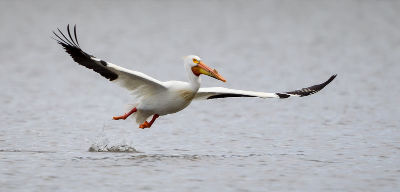 An American white pelican (Pelecanus erythrorhynchos), takes off from the lake. Taken on the Bruneau Arm, C.J. Strike Wildlife Management Area, Idaho, USA.