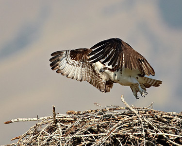 """The Takeoff""  A fledgling osprey (Pandion haliaetus) takes off from the nest along the Salmon River, Salmon, Idaho, USA. We actually took our cameras and tripods up on top of the RV to get this photo at eye level!"