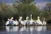 A colony of American white pelicans (Pelecanus erythrorhynchos) preening and sleeping. Taken on the Bruneau Arm, C.J. Strike Wildlife Management Area, Idaho, USA.