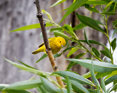 An American yellow warbler (Setophaga petechia). Taken in the C.J. Strike Wildlife Management Area, Idaho, USA.