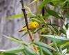 An American yellow warbler (Setophaga petechia). Taken in the C.J. Strike Wildlife Management Area, Idaho, USA.