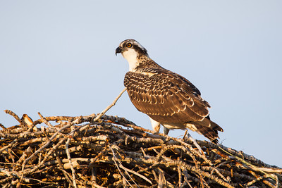 A fledgling osprey (Pandion haliaetus)  on the nest along the Salmon River, Salmon, Idaho, USA.