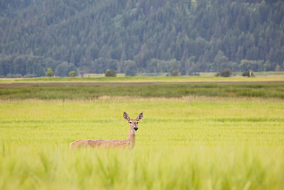 A whitetail deer (Odocoileus virginianus) female pauses amongst the grasses of the Kootenai River bottom. Taken in Kootenai National Wildlife Refuge, Idaho, USA.