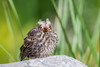 A fledgling red-winged blackbird (Agelaius phoenicius). Taken in the C.J. Strike Wildlife Management Area, Idaho, USA.