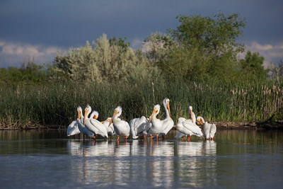 A colony of American white pelicans (Pelecanus erythrorhynchos) preening and sleeping. Taken on the Bruneau Arm, C.J. Strike Wildlife Management Area, Idaho, USA.