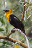 A yellow-headed blackbird (Xanthocephalus xanthocephalus). Taken in the C.J. Strike Wildlife Management Area, Idaho, USA.