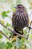 A female red-winged blackbird (Agelaius phoenicius). Taken in the C.J. Strike Wildlife Management Area, Idaho, USA.