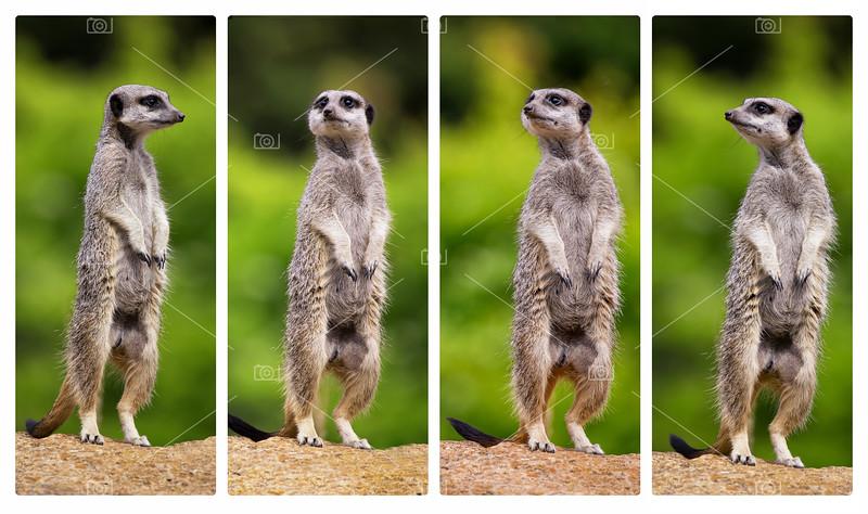 Meerkat collage