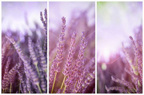 Lavender in sunshine triptych