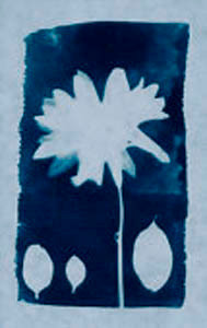 Cyanotype Daisy Flower.