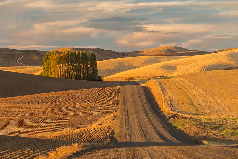Wheat fields and poplars, Walla Walla, Washington