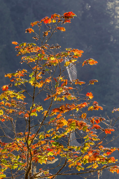 Fall foliage and webs, Sauk River, Mt Loop Hwy, Washington