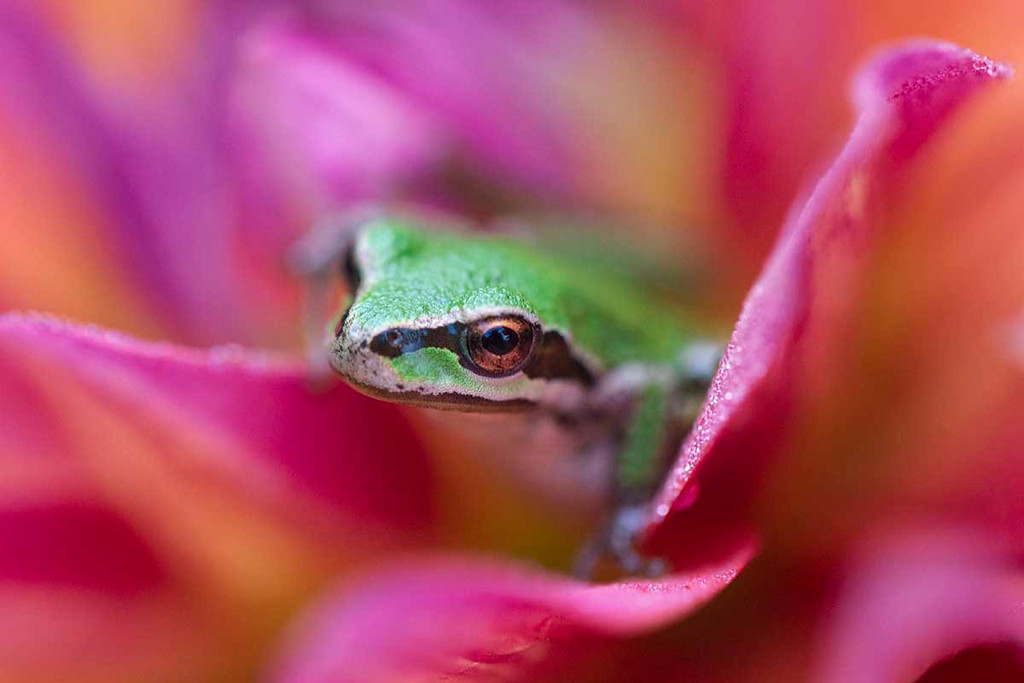 Tree Frog on Dahlia, Bothell, Washington
