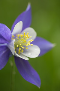 Colorado columbine (Aquilegia coerulea). Taken in the Roosevelt National Forest, Colorado, USA.