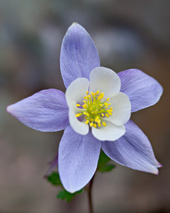 A Colorado blue columbine (Aquilegia caerulea.) The wildflower was growing at Clear Lake, San Juan National Forest, Colorado, USA.