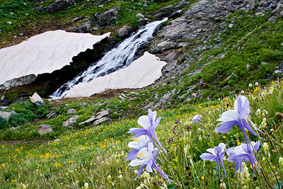 """Columbine and Snowmelt""  Our state flower loves high altitude and moisture. This group were growing just below Clear Lake near Silverton."