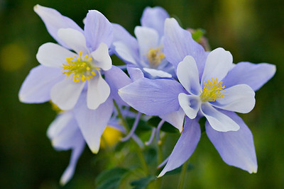 """Columbine Arrangement""  All arranged naturally. Taken in summer in American Basin near Lake City, Colorado."