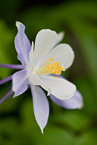 """Columbine in Yankee Boy II""  Taken near Ouray in the famed Yankee Boy Basin."