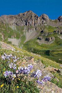 """Clear Lake Columbine""  This group were growing just below Clear Lake near Silverton."