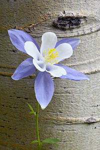 Blue columbine (Aquilegia coerulea) growing along Weston Pass in Park County, Colorado, USA. It is the official state flower of Colorado.