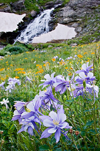 """Columbine and Snowmelt II""  Our state flower loves high altitude and moisture. This group were growing just below Clear Lake near Silverton."
