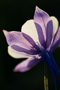 """Backlit Colorado Blue Columbine"""