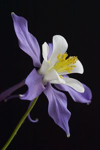 """Classic Colorado Columbine""  Our Colorado state flower is the blue columbine. It has such a lovely form."