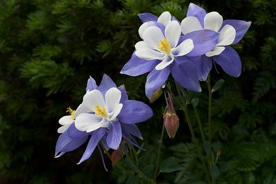 """Columbines On Daisy Pass""  In the high country above Crested Butte, the Colorado state flower is abundant. Its unusual, showy form attracts bees and photographers alike."