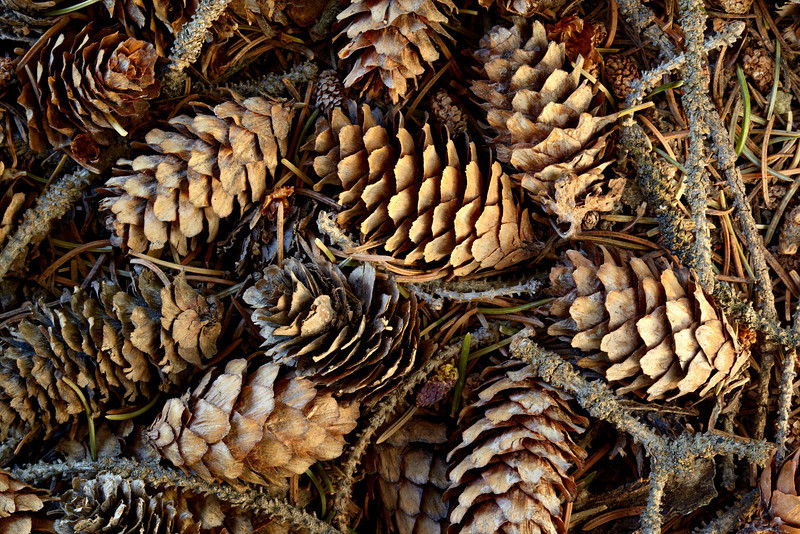 Twigs, pine cones, and pine needles on the forest floor. Taken near Cottonwood Pass, Gunnison National Forest, Colorado, USA.