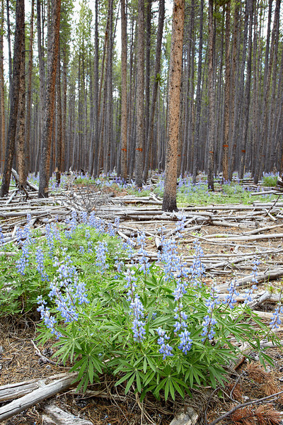 Lodgepole lupine (Lupinus parviflorus) wildflowers growing beneath pine trees in the Gunnison National Forest, Cottonwood Pass, Colorado, USA.