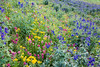 A mixed grouping of wildflowers. Taken in the San Juan National Forest, Colorado, USA.