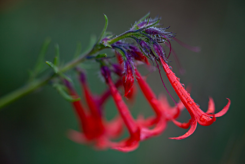 """Rain-Kissed""<br /> <br /> Scarlet gilia (Ipomopsis aggregata), after a rain. The wildflower is also known as the fairy trumpet or skyrocket. Taken in the Gunnison National Forest, Colorado, USA."