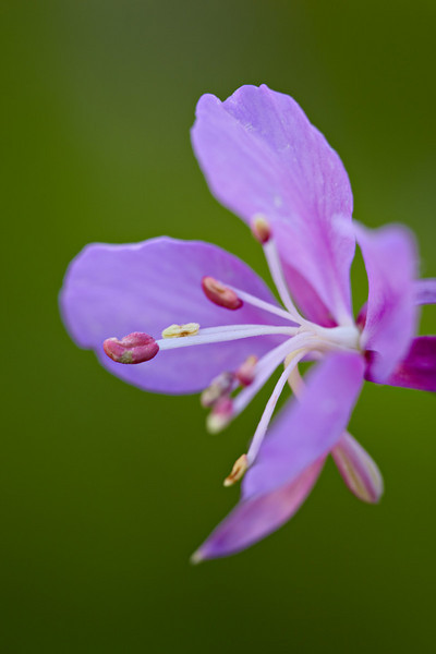 Fireweed (Epilobium angustifolium), a wildflower growing near Crested Butte, Gunnison National Forest, Colorado, USA.