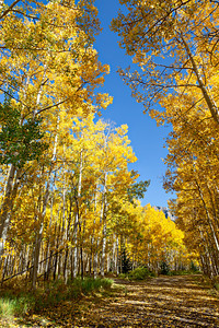 """Paved With Gold""  This particular loop of this gorgeous campground was closed, but a friend and I walked around it, getting photos of all the golden aspen. Silver Jack Campground. Taken in the Uncompahgre National Forest, Colorado, USA."