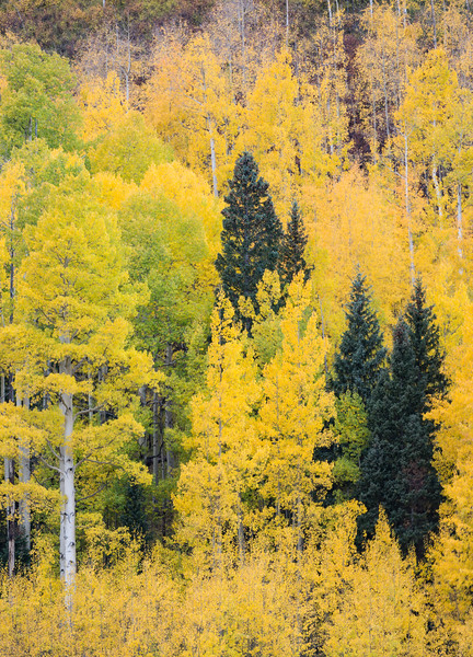 Quaking aspen (Populus tremuloides) and Colorado blue spruce (Picea pungens). Taken in the Uncompahgre National Forest, Colorado, USA.