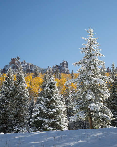 Snow-covered pines and quaking aspen (Populus tremuloides). Taken on Owl Creek Pass, Uncompahgre National Forest, Colorado, USA.
