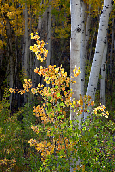 Fall foliage of the aspen (Populus tremuloides) in the Slumgullion Pass area. Taken in the Gunnison National Forest, Colorado, USA.