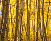 Backlit aspen (Populus tremuloides) foliage in fall.  Taken in the San Isabel National Forest, Colorado, USA.