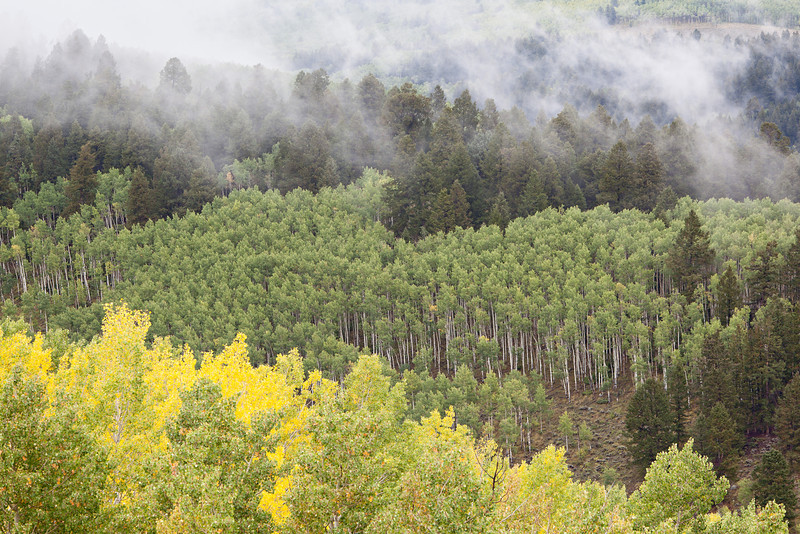 Fog and tree layers with aspen (Populus tremuloides) and pines. Taken in the Gunnison National Forest, Colorado, USA.